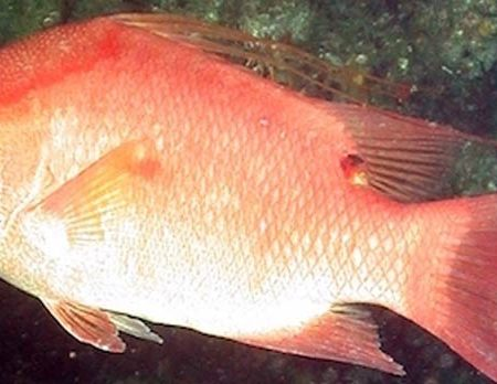 State Considering New Regulations To Protect Hogfish